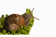 Burgundy snail eating salade, photo studio Royalty Free Stock Image