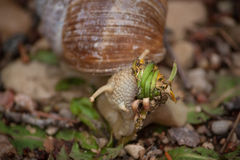 Burgundy snail Stock Photo
