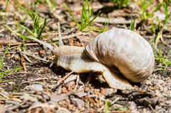 Burgundy snail Royalty Free Stock Photos