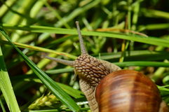 Burgundy snail in grass Stock Photography