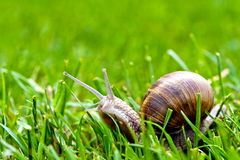 Burgundy snail in grass Stock Images