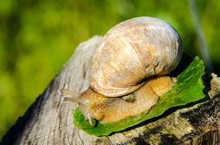 Burgundy snail (helix pomatia) Royalty Free Stock Photography