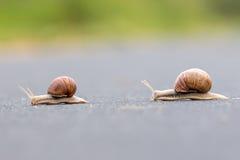 Burgundy snail (Helix pomatia) Royalty Free Stock Images