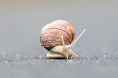 Burgundy snail (Helix pomatia) Stock Photos