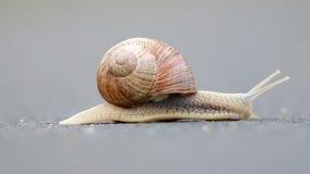 Burgundy snail (Helix pomatia) stock footage