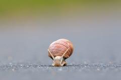Burgundy snail (Helix pomatia) Royalty Free Stock Photos