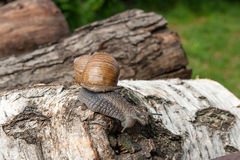 Burgundy snail Helix, Roman snail, edible snail, escargot craw. Roman Snail - Helix pomatia. Helix pomatia, common names the Roman, Burgundy, Edible snail or Stock Image