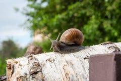 Burgundy snail Helix, Roman snail, edible snail, escargot craw. Roman Snail - Helix pomatia. Helix pomatia, common names the Roman, Burgundy, Edible snail or Royalty Free Stock Photos