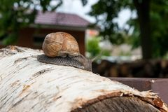 Burgundy snail Helix, Roman snail, edible snail, escargot craw. Roman Snail - Helix pomatia. Helix pomatia, common names the Roman, Burgundy, Edible snail or Stock Photo