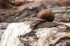 Burgundy snail Helix, Roman snail, edible snail, escargot craw. Roman Snail - Helix pomatia. Helix pomatia, common names the Roman, Burgundy, Edible snail or Royalty Free Stock Images