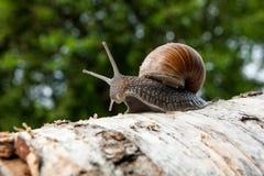 Burgundy snail Helix, Roman snail, edible snail, escargot craw. Roman Snail - Helix pomatia. Helix pomatia, common names the Roman, Burgundy, Edible snail or Stock Photography
