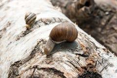Burgundy snail Helix, Roman snail, edible snail, escargot craw. Roman Snail - Helix pomatia. Helix pomatia, common names the Roman, Burgundy, Edible snail or Royalty Free Stock Photo