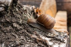 Burgundy snail Helix, Roman snail, edible snail, escargot craw. Roman Snail - Helix pomatia. Helix pomatia, common names the Roman, Burgundy, Edible snail or Stock Images