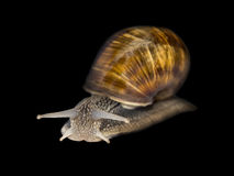 Burgundy snail, isolated Stock Photos