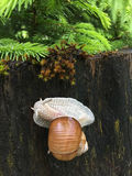Burgundy snail, known as Roman snail crawling on wood log with w Stock Image