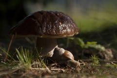 Burgundy snail and mushroom Stock Photo