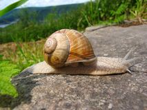 Burgundy Snail - helix pomatia. Burgundy snail on rock in Eifel National Park above the Urft River valley in North Rhine Westphalia, Germany Stock Images