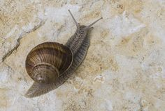 Burgundy Snail on Rock Royalty Free Stock Images