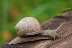 Burgundy snail, Roman snail, edible snail or escargot Helix pom Royalty Free Stock Images