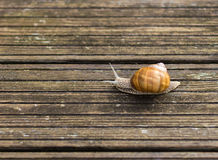 Burgundy snail on the terrace in the garden. Snail gliding on the wooden planks. Royalty Free Stock Photos