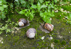 The Burgundy snail. Three  Burgundy snails in their natural environment Stock Photo