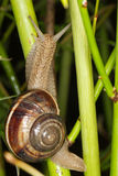 burgundy snail walking on the branch Royalty Free Stock Photos