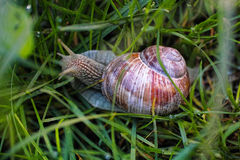 Burgundy snail in wet grass Stock Photo