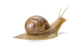 Burgundy snail Royalty Free Stock Photo