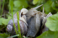 Burgundy Snails Mating (Helix Pomatia) Royalty Free Stock Photos