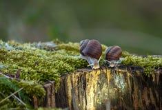 Burgundy snails stock images