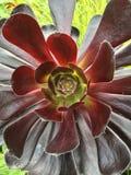 Burgundy succulent pant. Succulent plant centre Stock Photography