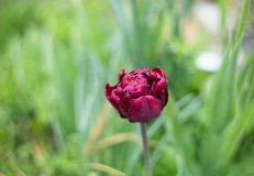 Burgundy Terry Tulip on a background of grass. Postcard Stock Photography
