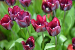 Burgundy Tulip stock photography
