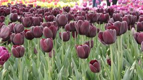 Burgundy tulips in the garden stock images