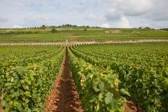 Burgundy vineyard Stock Photography