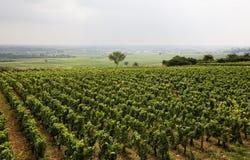 burgundy vingård Royaltyfri Fotografi