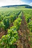 burgundy vingård fotografering för bildbyråer
