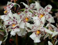 Burgundy And White Oncidium Orchid Stock Photo