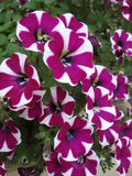Burgundy with white petunias in flowerpot on sill Royalty Free Stock Photography