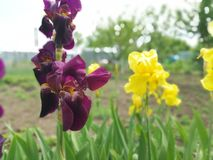 Burgundy and yellow irises in a flower bed stock photos