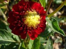 Burgundy z żółtą środkową dalią jest kwiatem, ekscytuje pasję i pcha na niepoczytalnych akcjach, sławnym dla olśniewać piękno, fotografia royalty free