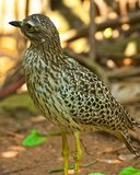 Burhinus capensis (Spotted thick-knee , Spotted dikkop) Stock Image