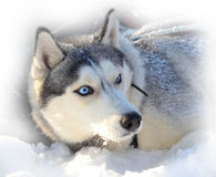 Buried in snow. Blue-eyed Siberian Husky buried in snow Royalty Free Stock Image