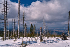 Buried in snow forest and dry trees Stock Photography