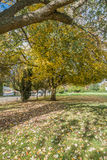 Burien Park Tree. Autumn leaves turn yellow in Lake Burien School Park in Burien, Washington stock photo