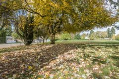Burien Park Tree 2. Autumn leaves turn yellow in Lake Burien School Park in Burien, Washington royalty free stock photography