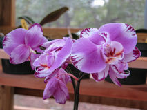 Purple Phalaenopsis Blooming Plant. Phalaenopsis orchid with what looks like burnt edges stock images