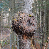 Burl on cherry tree Royalty Free Stock Image