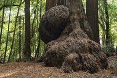 Burl da sequoia vermelha Foto de Stock