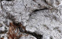 Burl de Beachwood Imagen de archivo libre de regalías